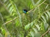 11-paradise-tanager