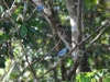 14-blue-grey-tanager